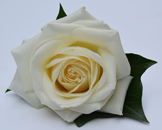 Wedding Buttonholes White Rose